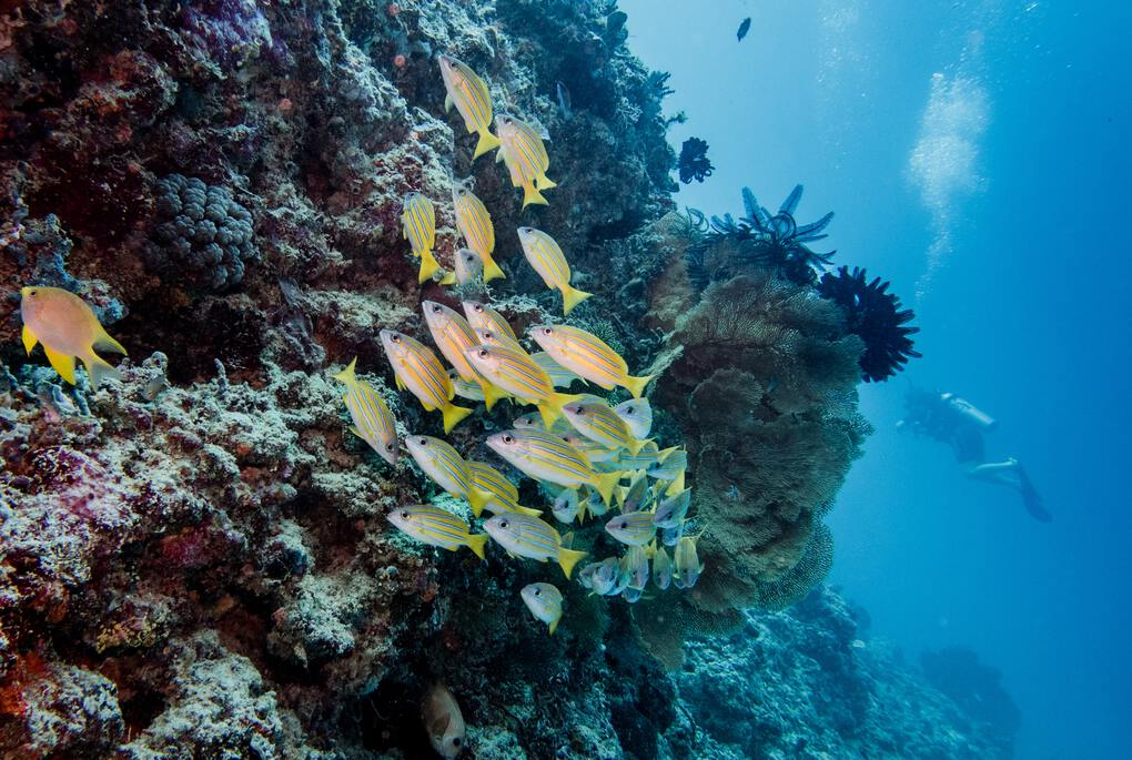Vibrant coral reef with yellow fish in Indonesia